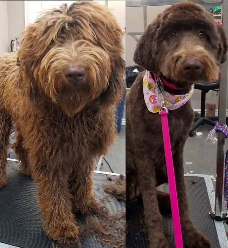 Dog before and after dog grooming at Toronto K9 Center