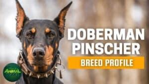 Doberman Pinscher Dogs 101