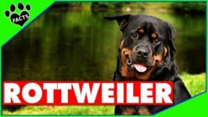 Rottweiler Dogs 101