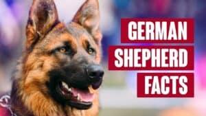 German Shepherd - Everything You Need to Know