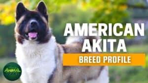 American Akita Dogs 101