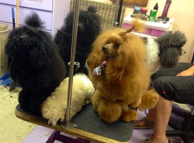 Dogs Groomed at Toronto K9 Center
